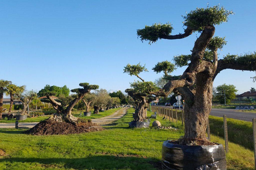Soules-Paysages-olivier